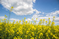Field of yellow flowering oilseed rape isolated on a cloudy blue sky in springtime & x28;Brassica napus& x29;, Blooming canola Royalty Free Stock Photo