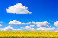 Field of yellow flowers with blue sky and white clouds during sunny day Royalty Free Stock Photography