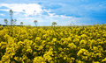 Field of yellow rape flowers Royalty Free Stock Image