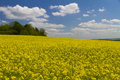 Field of yellow rapeseed Royalty Free Stock Photo