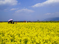 A field of yellow rapeseed flowers Royalty Free Stock Photo