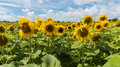 Field of yellow sunflowers on sunny day with blue sky and white clouds Royalty Free Stock Photo