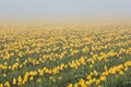 Field of yellow tulips in morning fog and mist Royalty Free Stock Photo