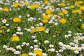 Field of yellow and white flowers Royalty Free Stock Images