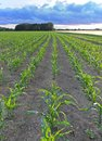 Field with young corn plants in the rows. Royalty Free Stock Photo