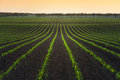 Field of young corn Royalty Free Stock Photo