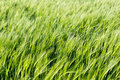 Field of young green barley in the wind before sunset, abstract Royalty Free Stock Photo