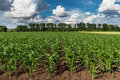 Field of young green corn plants in early summer Royalty Free Stock Photography