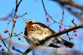 Fieldfare Stock Photos