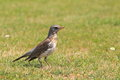 Fieldfare the adult in the grass Royalty Free Stock Photo