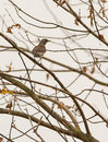 Fieldfare on leafless tree a turdua pilaris perches a after the cold lithuanian autumn has made them fall Stock Photography