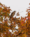 Fieldfare perched on a fruit tree turdus pilaris perches loaded with orange fruits during the lithuanian autumn season Stock Photography