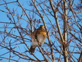 Fieldfare on a tree Royalty Free Stock Photography