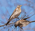 Fieldfares (Turdus pilaris) Royalty Free Stock Photo