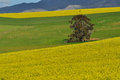 Fields ablaze canola near caledon south africa Stock Images