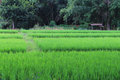 Fields adjacent to the forest paddy Stock Image