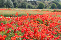 Fields of cereals and poppies near alos de balaguer la noguera lleida spain Stock Photo