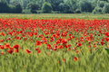 Fields of cereals and poppies near alos de balaguer la noguera lleida spain Royalty Free Stock Photography