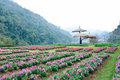 Fields of flowers on Doi Ang Khang, Chiang Mai Tha Royalty Free Stock Images