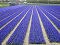 Fields of flowers in Holland Stock Photo