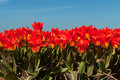 Fields full with spring tulips Royalty Free Stock Images