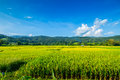 Fields golden rice view of on the mountain Stock Images