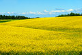 Fields hills covered bright yellow canola colza rapeseed flowers Royalty Free Stock Photos