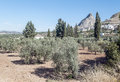 Fields of olives trees in the spanish province malaga full olive in a sunny day Royalty Free Stock Photos