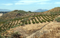 Fields of olives trees in the spanish province malaga full olive in a sunny day Royalty Free Stock Photo