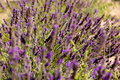 Fields of Provence Royalty Free Stock Photography