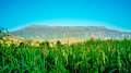 Fields rice and mountain views blue skies Royalty Free Stock Image