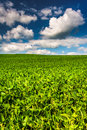 Fields of soybean, in rural Baltimore County, Maryland. Royalty Free Stock Photo
