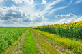 Fields soybean and sunflower and country road Royalty Free Stock Images