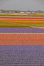 Fields of tulips beyond a town colourful nearby keukenhof garden europe Royalty Free Stock Photo