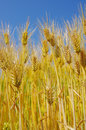Fields of wheat against the blue sky closeup Royalty Free Stock Image