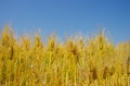 Fields of wheat against the blue sky closeup Stock Photography