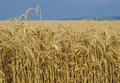 Fields of Wheat, Palouse, Washington Royalty Free Stock Photo