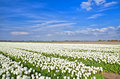 Fields with white tulips alkmaar big north holland Royalty Free Stock Photo