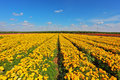 The fields with yellow flowers Ranunculus Stock Photo