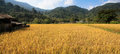 Fields and yellow rice Royalty Free Stock Photo