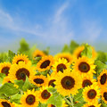 Fiels sunflowers over blue sky sunny day Stock Photography