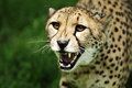 Fierce cheetah attacking a showing teeth Stock Image