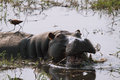 Fierce hippopotamus with open mouth in the river chobe chobe national park botswana Royalty Free Stock Image