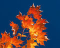 Fiery Autumn Leaves Royalty Free Stock Images