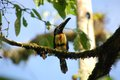 Fiery billed aracari against blue sky Royalty Free Stock Photography