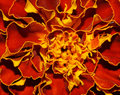 Fiery flower Royalty Free Stock Photo