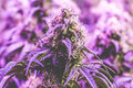 Fiery purple cannabis flower Royalty Free Stock Photo