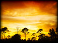 Fiery Sunset and Pines Royalty Free Stock Image