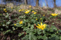Fig Buttercup, Ficaria Verna, ...