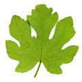 Fig leaf Stock Photo